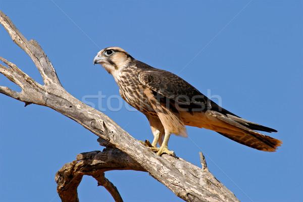 Lanner falcon Stock photo © EcoPic