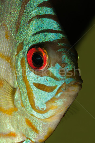 Blue discus fish Stock photo © EcoPic