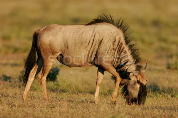Grazing blue wildebeest  Stock photo © EcoPic