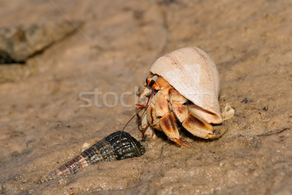 Hermit crab Stock photo © EcoPic