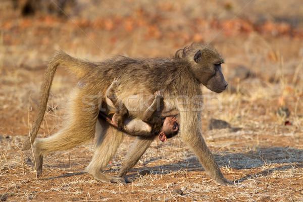 Chacma baboon with baby Stock photo © EcoPic