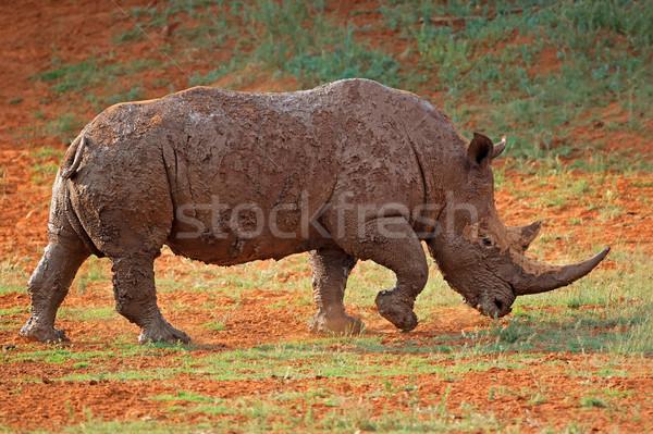 Mud-covered white rhinoceros Stock photo © EcoPic