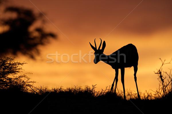 Stock photo: Springbok silhouette