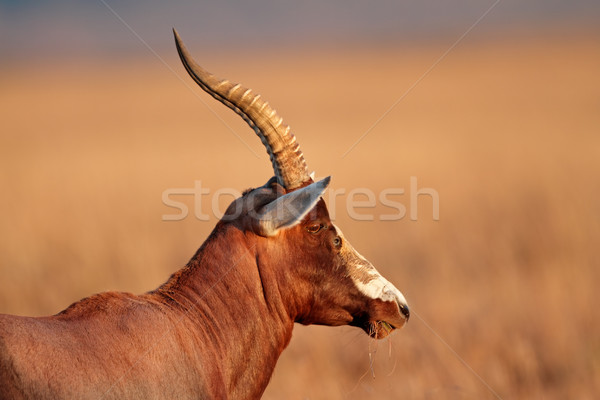 Blesbok antelope Stock photo © EcoPic