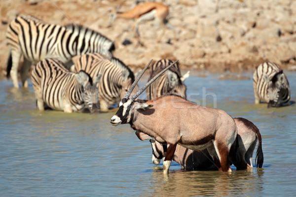 Gemsbok and zebra in water Stock photo © EcoPic