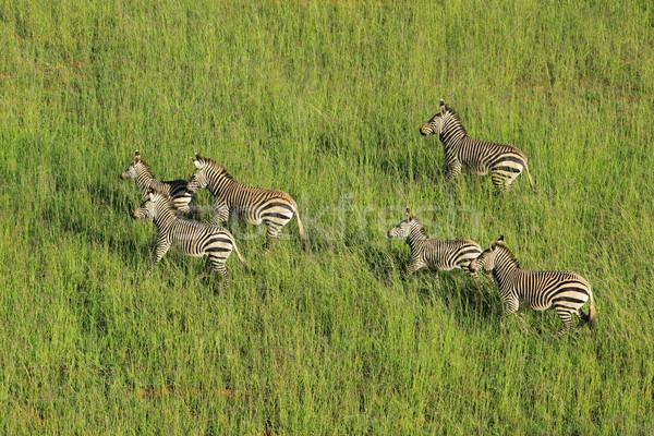 Dağ zebralar zebra Güney Afrika park Stok fotoğraf © EcoPic