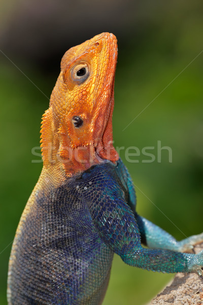 Rainbow agama Stock photo © EcoPic