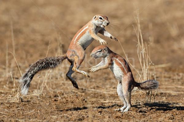 Spelen grond eekhoorns twee woestijn South Africa Stockfoto © EcoPic
