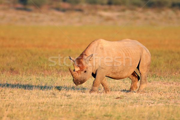Black rhinoceros Stock photo © EcoPic