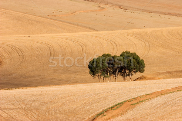 Wheat fields Stock photo © EcoPic