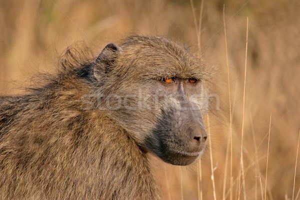 бабуин портрет парка ЮАР лице животного Сток-фото © EcoPic