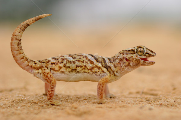 Stockfoto: Reus · grond · gekko · woestijn · milieu · South · Africa