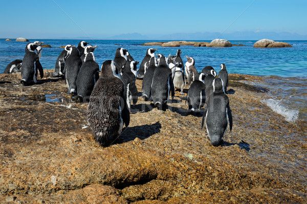 African penguins on coastal rocks Stock photo © EcoPic