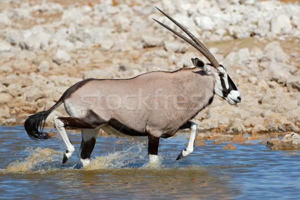 Gemsbok antelopes running in water Stock photo © EcoPic
