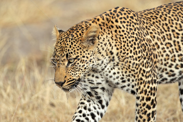 Leopard portrait Homme Afrique du Sud nature chat Photo stock © EcoPic