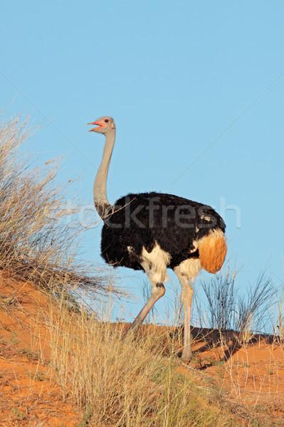 男性 ダチョウ 赤 砂丘 砂漠 南アフリカ ストックフォト © EcoPic