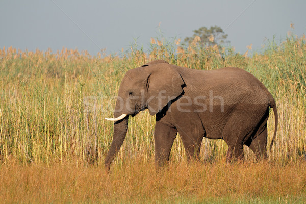 African bull elephant Stock photo © EcoPic