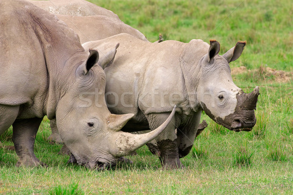 Stock photo: White rhinoceros feeding