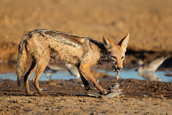 Black-backed Jackal eating dove Stock photo © EcoPic