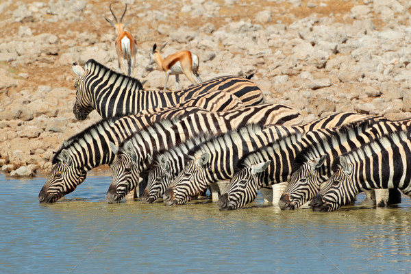 Plains Zebras drinking water Stock photo © EcoPic