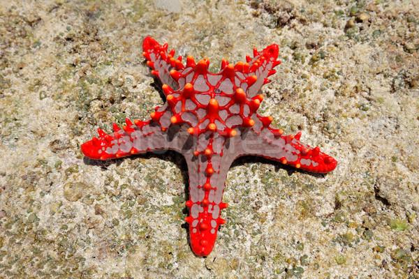 Rood zeester kleurrijk koraal rock water Stockfoto © EcoPic