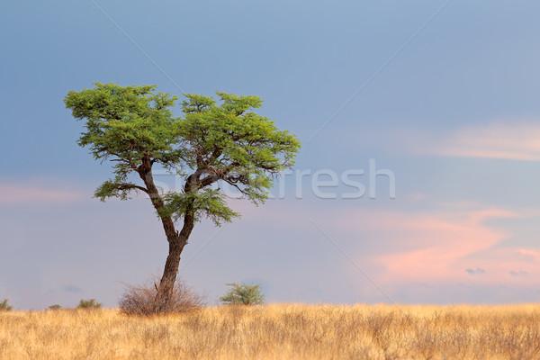 Stock photo: African Acacia tree