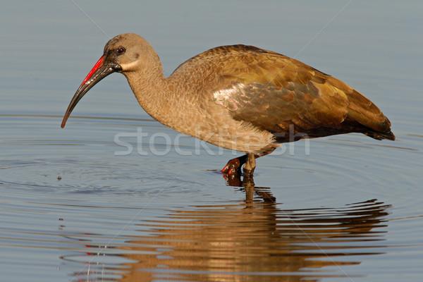 Hadeda Ibis Stock photo © EcoPic