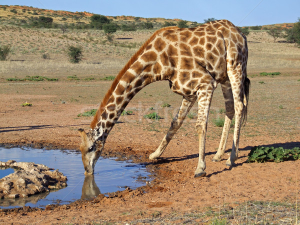 Giraffe drinking Stock photo © EcoPic