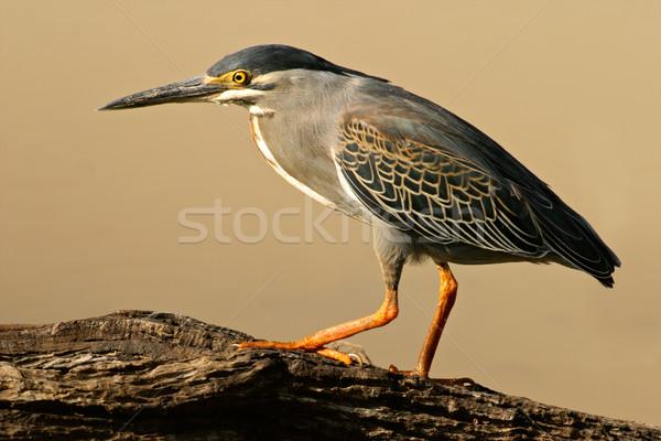 цапля ЮАР природы птица Африка законопроект Сток-фото © EcoPic