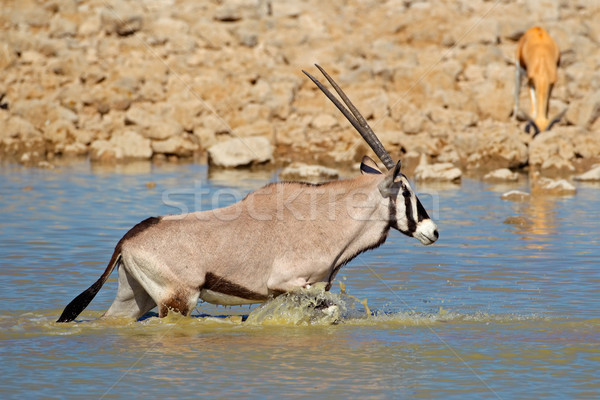 Gemsbok in water Stock photo © EcoPic