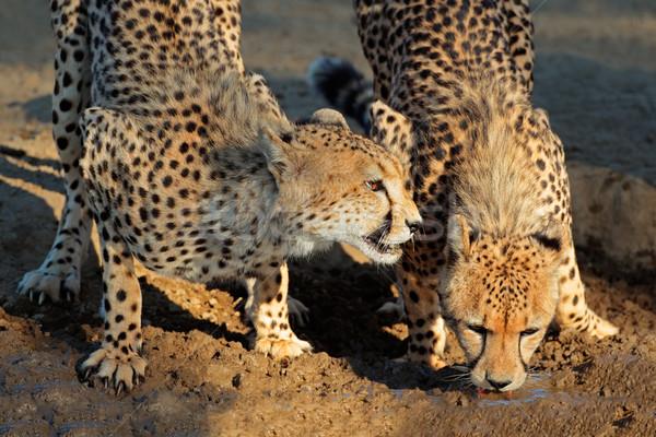 Ivóvíz kettő sivatag Dél-Afrika szemek természet Stock fotó © EcoPic