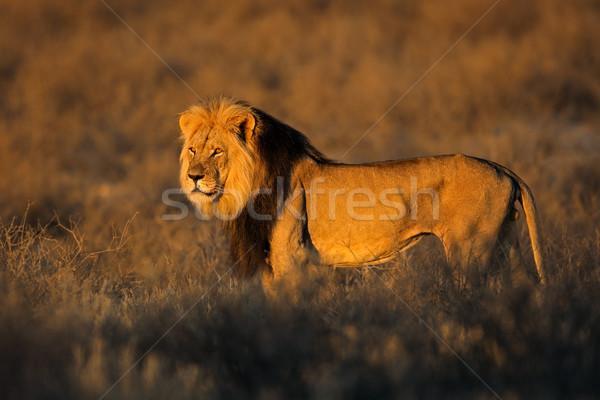 Stok fotoğraf: Büyük · erkek · Afrika · aslan · ışık