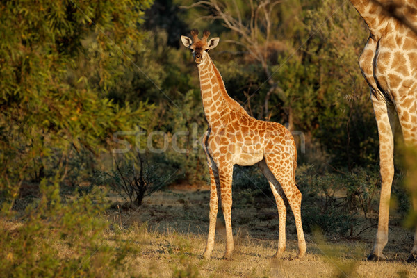 Baby giraffe Stock photo © EcoPic