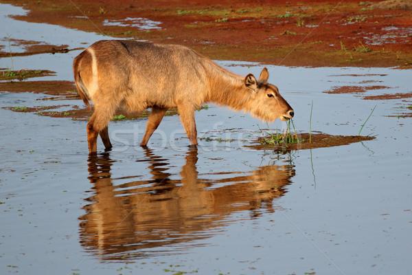 Waterbuck feeding in water Stock photo © EcoPic