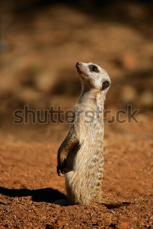Alert meerkat Stock photo © EcoPic