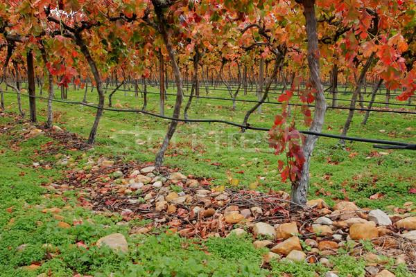 Vignoble riche automne automne couleurs Le Cap Photo stock © EcoPic