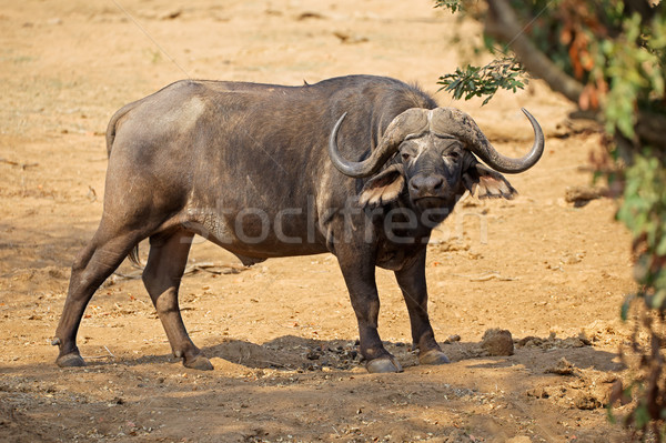 African buffalo - Kruger National Park Stock photo © EcoPic