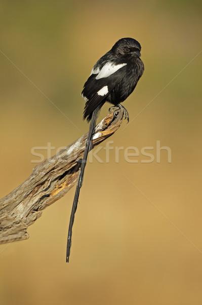 Magpie shrike Stock photo © EcoPic