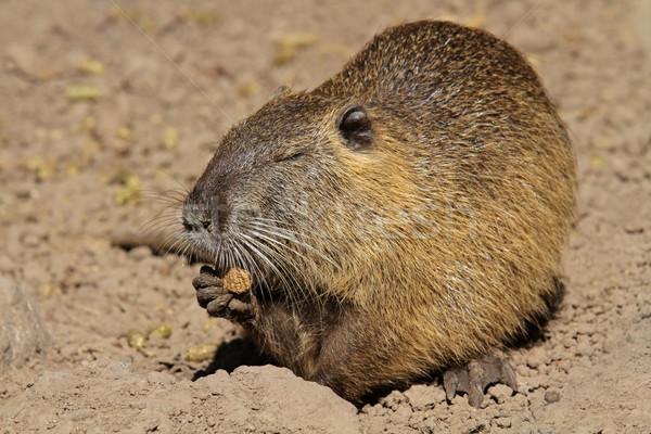 自然 毛皮 ブラウン 野生動物 ストックフォト © EcoPic