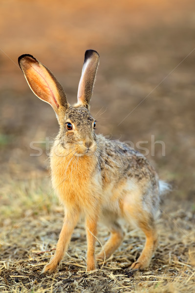 Scrub hare Stock photo © EcoPic