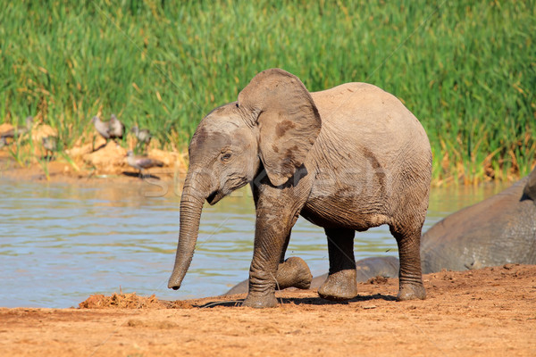 Baby elephant at waterhole Stock photo © EcoPic