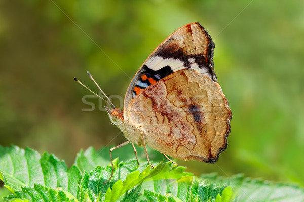 Butterfly on leaf Stock photo © EcoPic