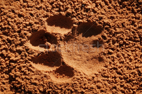 Lion paw imprint Stock photo © EcoPic