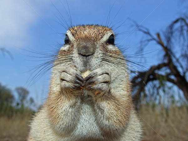 Ground squirrel  Stock photo © EcoPic