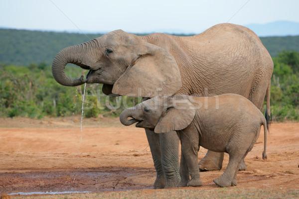 Drinking African elephants Stock photo © EcoPic