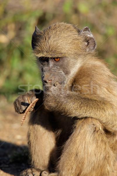 бабуин молодые парка ЮАР волос животного Сток-фото © EcoPic