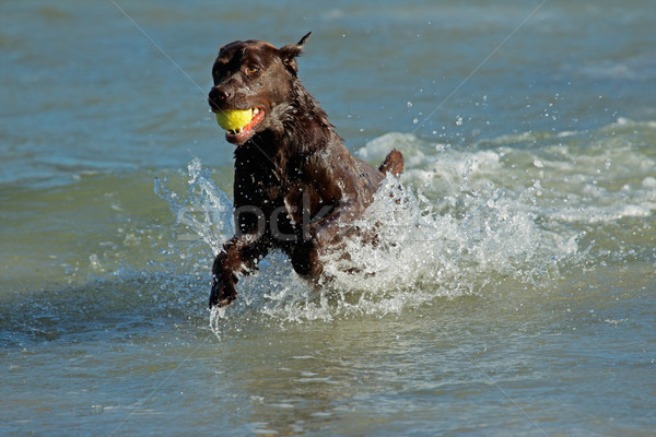 Játszik kutya fut tengerpart víz labda Stock fotó © EcoPic