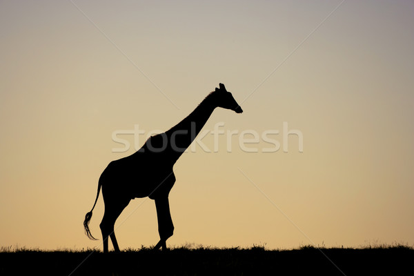 Giraffe on African plains Stock photo © EcoPic