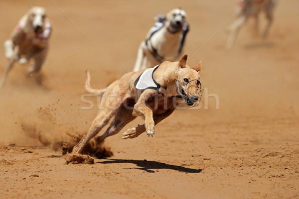 Galgo completo acelerar pé dentes correr Foto stock © EcoPic