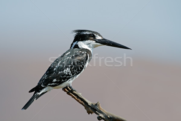 Pied kingfisher Stock photo © EcoPic